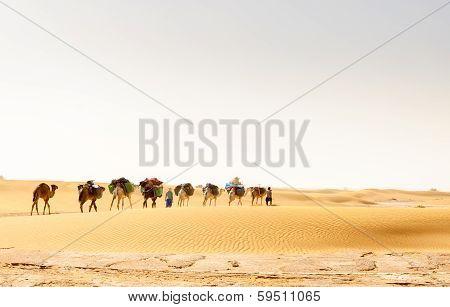 Dromedary Caravan, Draa Valley (morocco)