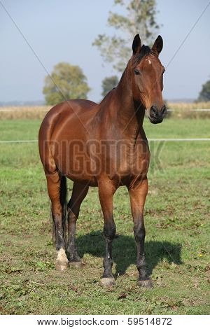 Nice Brown Warmblood Standing In Autumn