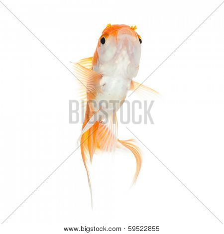 Close up of swimming orange fish, isolated on white. Concept of wishes fulfilment and natural beauty