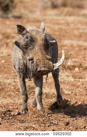 Old Warthog With One Tooth Look Tired
