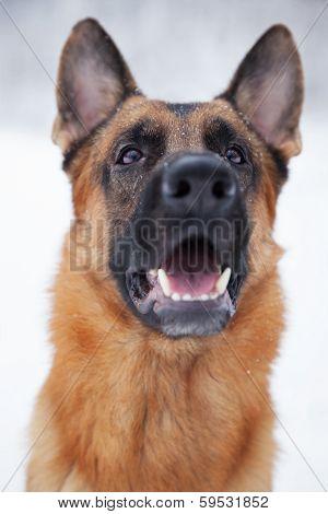 Shepherd Breed Dog Sitting Outdoors In Winter