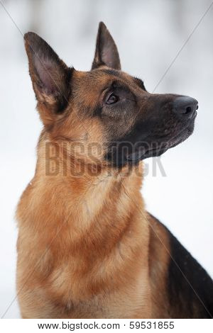 Shepherd Breed Dog Sitting And Looking Somewhere