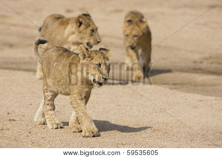 African Lion Cubs (panthera Leo) South Africa