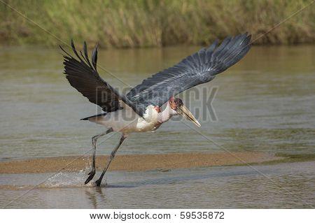 Marabou Stork (leptoptilos Crumeniferus) South Africa