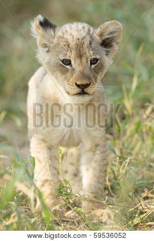 African Lion (panthera Leo) Cub South Africa