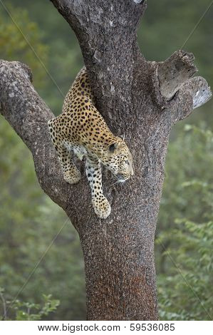 African Leopard (panthera Pardus) In Tree South Africa