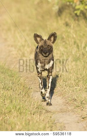 African Wild Dog ((lycaon Pictus) Walking
