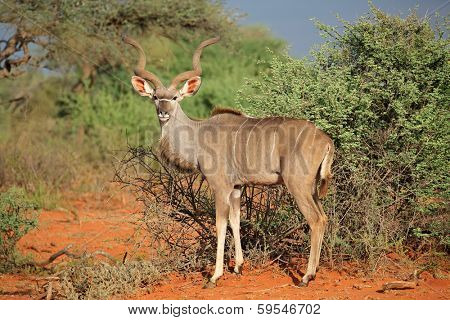 Male kudu antelope (Tragelaphus strepsiceros) in natural habitat, South Africa