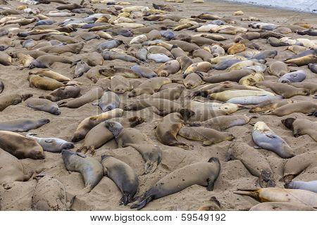 California wild Elephant Seals in Piedras Blancas point in South Big Sur inn Pacific Highway 1