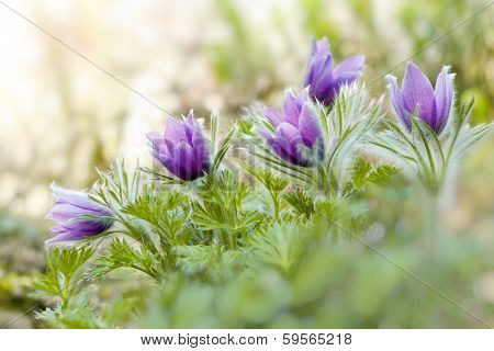 Hairy fuzzy pasque-flowers in soft purple pastel colors in springtime