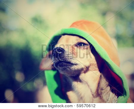 a cute chihuahua in a hoodie done with a vintage retro instagram