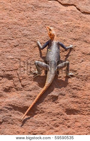 Agama in Namib