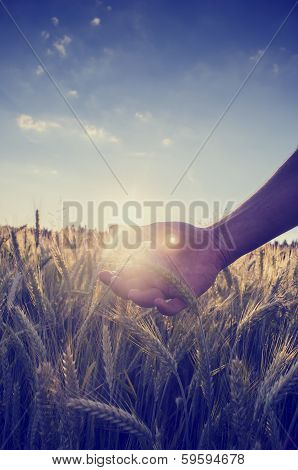 Retro Image Of A Hand Cupping The Wheat Over A Field