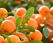 stock photo of tangerine-tree  - orange grow on tree - JPG