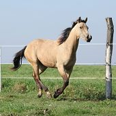 Palomino Quarter Horse Running On Pasturage