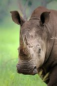 Close-up of White Rhinoceros; Ceratotherium Simum; South Africa
