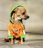 a chihuahua with a hoodie and jewelry on