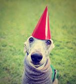 stock photo of dog birthday  - a cute dog in a local park with a birthday hat on done with a retro vintage instagram filter - JPG