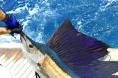 picture of sailfish  - beautiful sailfish on the deck on ocean waters