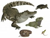 picture of tuatara  - It is illustration of several wild reptiles - JPG