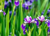 pic of purple iris  - Springtime - JPG
