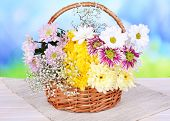 Beautiful chrysanthemum flowers in wicker basket on table on light blue background