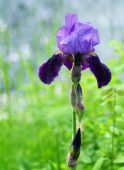 stock photo of yakima  - A single purple iris grows next to the Yakima River - JPG