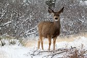 stock photo of mule deer  - Alert young mule deer in snowy meadow - JPG