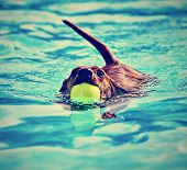 stock photo of mutts  - a dachshund with a ball in his mouth done in a vintage retro instagram filter - JPG