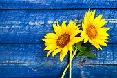 image of sunflower  - Two yellow sunflowers on a painted fence - JPG