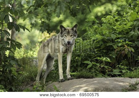 A timber wolf in a forest environment
