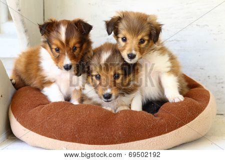 Three little Shetland Sheepdog Puppies