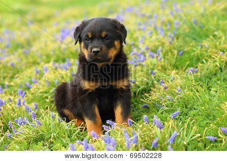 Rottweiler puppy sitting in among wildflowers