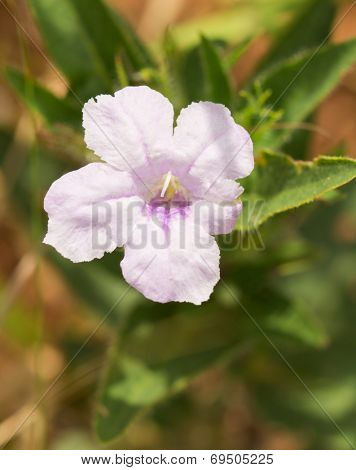 Pale purple Ruellia humilis, Wild Hairy Petunia, growing in prairie habitat