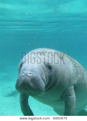 West Indian Manatee Underwater