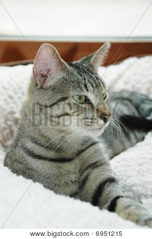 Alert Gray Tabby Cat
