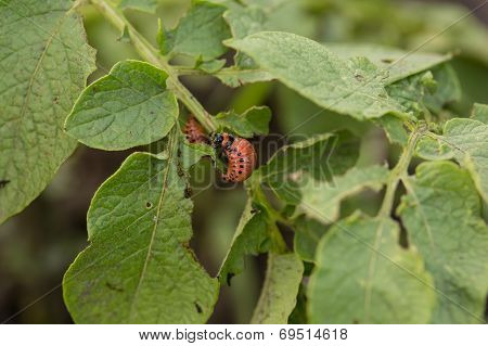 The red colorado beetle's larva feeding