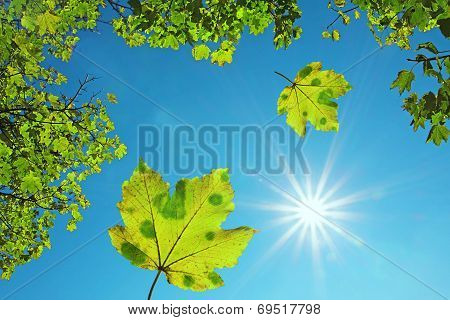 Crown Of A Maple Tree And Falling Maple Leaves, Against Blue Sky With Bright Sunshine. Natural Backg