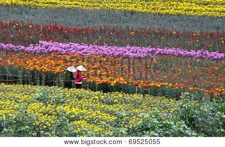 Vietnamese women working in a flower farm in Dalat city, Lam Dong province, Vietnam