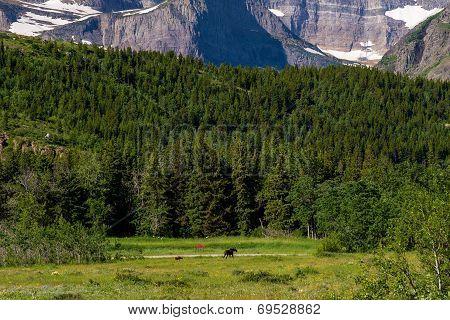 Mother And Calf Moose, Glacier N.p.