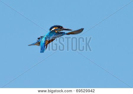 kingfisher in flight (alcedo atthis) outdoor