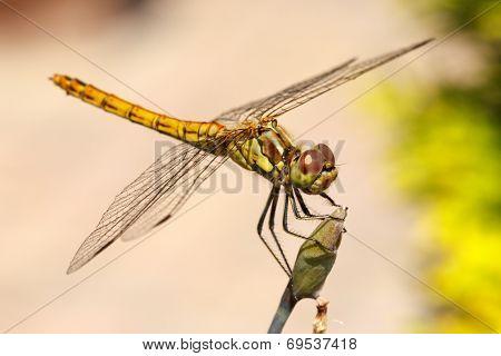 Vagrant Darter Dragonfly