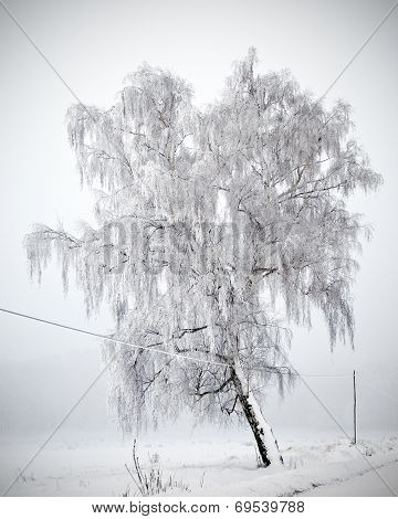 Tree covered in hoarfrost