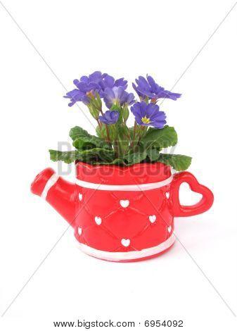Primula In Decorative Pot