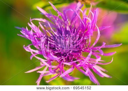 Macro Of A Beautiful Purple Cornflower