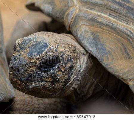 Portrait of the Aldabra giant tortoise