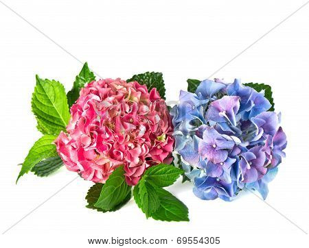 Beautiful Hortensia Flowers Isolated On White