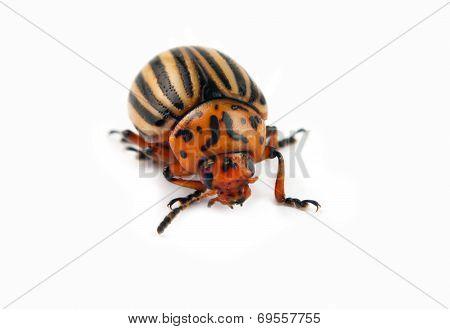 Beetle Macro