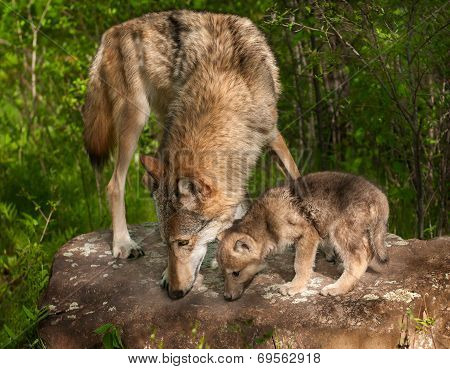 Grey Wolf (canis Lupus) And Pup Sniff Atop Rock