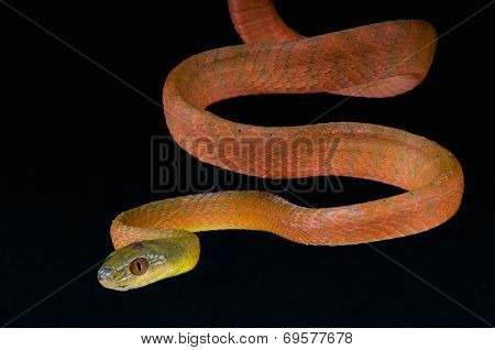 Red Cat snake / Boiga nigriceps
